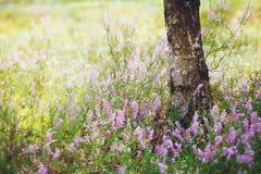 O tronco do vidoeiro e prado da urze de florescência na floresta bonita no dia ensolarado foto de stock royalty free