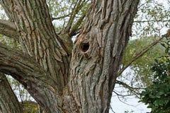 O tronco e os ramos center de uma grande árvore Imagens de Stock Royalty Free