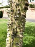 O tronco grosso de uma árvore terrível terrível natural natural verde do horisia com os espinhos espinhosos afiados e os espinhos imagem de stock royalty free