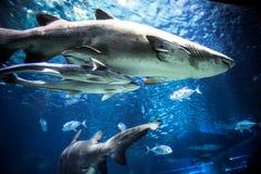 O tubarão com outros peixes está nadando no profundo fotos de stock royalty free
