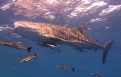 O tubarão de baleia nada perto da superfície fotos de stock royalty free