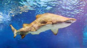 O tubarão nada na água imagens de stock
