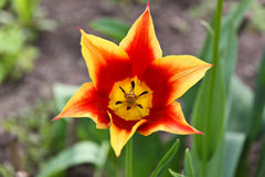 O tulip. Amarelo e vermelho. Fotografia de Stock Royalty Free