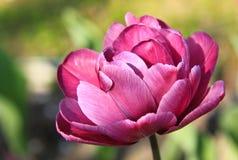 O tulip carmesim Imagens de Stock