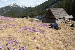O turista que fotografa açafrões no prado no vale de Chocholowska, primeira primavera floresce Montanha de Tatra Fotos de Stock Royalty Free