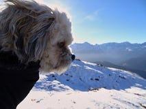 O tzu maltês do shih misturou o cão que olha sobre a paisagem cênico da montanha imagens de stock royalty free