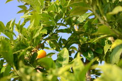 O um mandarino Fotos de Stock