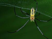O Underbody da aranha do lince que descansa em sua Web foto de stock royalty free