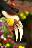 O undulatus envolvido de Rhyticeros do hornbill ou a barra-pouched envolveram o hornbill Fotos de Stock Royalty Free
