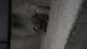 O urbicum comum do Delichon dos martins da casa está lutando no ninho na parede da casa em julho, na definição alta HD COMPLETO filme