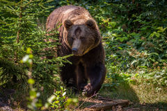 O urso foto de stock