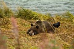 O urso de Brown do Alasca novo que leva a cabo com salmões, como o corvo esperançoso olha ao redor da parte traseira Rio de Chilk foto de stock