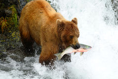 O urso de Brown está travando salmões Fotografia de Stock