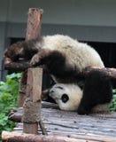 O urso de panda gigante (filhote) faz um pino Fotografia de Stock