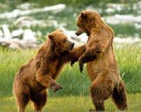 O urso do Alasca carrega lutar fotografia de stock royalty free
