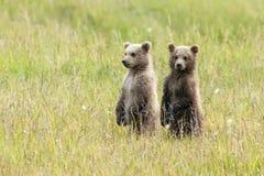O urso do Alasca Cubs de Brown está em um campo fotos de stock