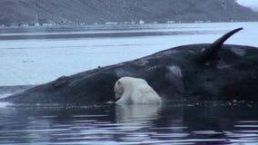 O urso do mar branco come a baleia inoperante na água de Svalbard video estoque