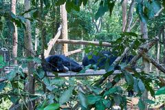 O urso do sono no centro do salvamento do urso livra os ursos em Kuangsi, ao lado da cachoeira do kuangsi, Laos fotos de stock