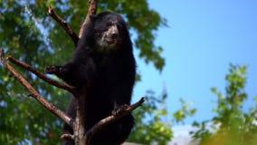 O urso está em Dry Tree Woods vídeos de arquivo