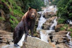 O urso está em uma pedra foto de stock
