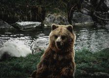 O urso está os turistas e o tempo de alimentação de espera fotos de stock royalty free