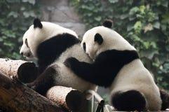 O urso gigante bonito Cub da panda joga, jardim zoológico China de Beijing Fotos de Stock