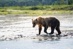 O urso litoral do Alasca bonito do urso de Brown vagueia no cree fotografia de stock royalty free