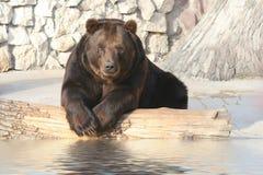 O urso marrom Fotos de Stock