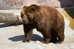 O urso marrom Fotografia de Stock