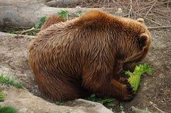 O urso marrom come no jardim zoológico Fotografia de Stock
