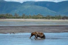 O urso marrom do urso litoral do Alasca agarra um peixe salmon no rio foto de stock