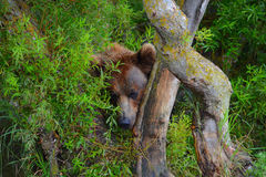 O urso marrom está escondendo nos arbustos Imagens de Stock Royalty Free