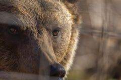 o urso marrom no jardim zoológico entre as barras fotografia de stock royalty free