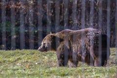 o urso marrom no jardim zoológico entre as barras fotos de stock royalty free