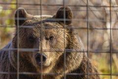 o urso marrom no jardim zoológico entre as barras imagem de stock royalty free