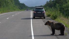 O urso marrom selvagem com fome que anda na estrada e implora o alimento dos povos video estoque