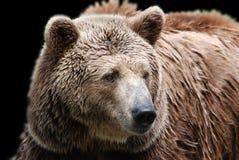 O urso pardo imagens de stock