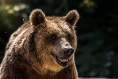 O urso pardo foto de stock royalty free