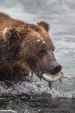 O urso pardo no parque nacional de Alaska Katmai caça horribilis dos arctos do Ursus dos salmões imagens de stock royalty free