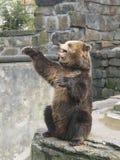 O urso pede doces no jardim zoológico Fotos de Stock Royalty Free