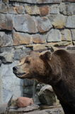 O urso pede o deleite no jardim zoológico de Kaliningrad Rússia Imagens de Stock Royalty Free