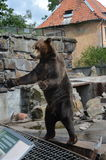 O urso pede o deleite no jardim zoológico de Kaliningrad Rússia Foto de Stock Royalty Free
