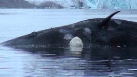 O urso polar branco come a baleia inoperante na água de Svalbard video estoque
