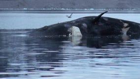 O urso polar branco come a baleia inoperante na água de Svalbard vídeos de arquivo