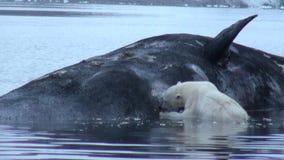 O urso polar branco come a baleia inoperante na água perto da costa rochosa de Svalbard video estoque