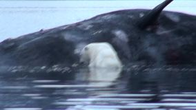 O urso polar branco come a baleia inoperante na água perto da costa rochosa de Svalbard vídeos de arquivo