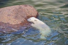 O urso polar esforça-se para sua vida Foto de Stock Royalty Free