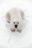 O urso polar grande na neve, olha predador Imagens de Stock Royalty Free