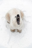 O urso polar grande na neve, olha predador, rugido de um predador Fotos de Stock Royalty Free