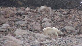O urso polar vai na costa rochosa no gelo desolado da tundra em Svalbard video estoque